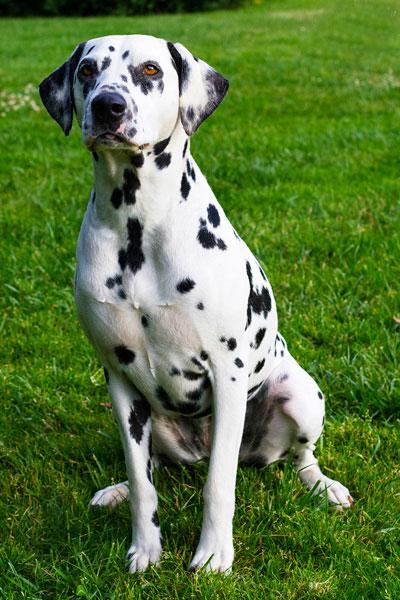 Alice Dalmatian model