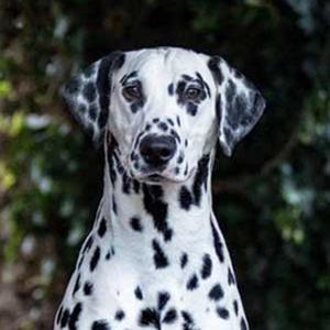 Domino dalmatian model
