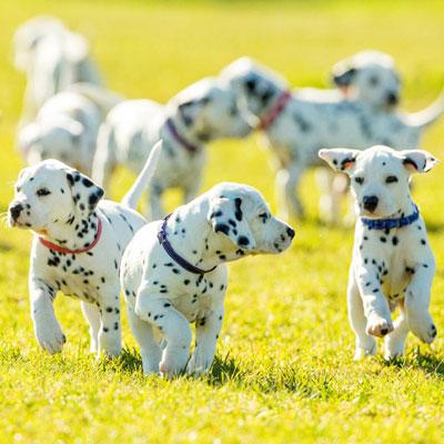 Dalmatian puppy play