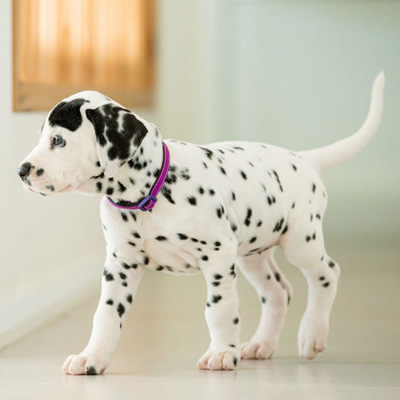 Dalmatian puppy walk